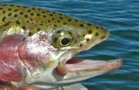 Cropped trout 3