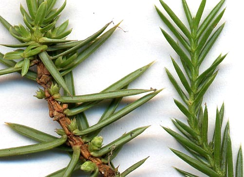 Juniper needles