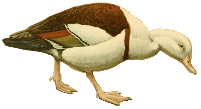 A natural history of the ducks (Plate 16) (white background)