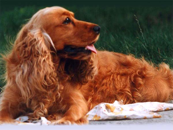 Bojars's english cocker spaniel