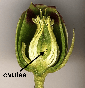Ovules in flower