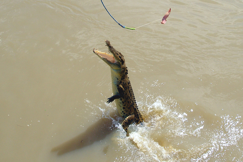 A140, Adelaide River, Northern Territory, Australia, saltwater crocodile misses bait, 2007