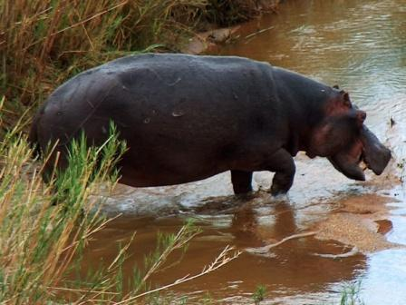 A hippo splashes in the water.