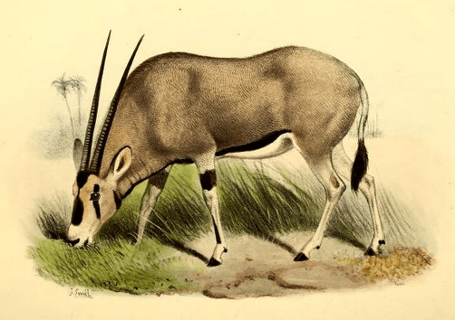 The book of antelopes (1894) Oryx beisa