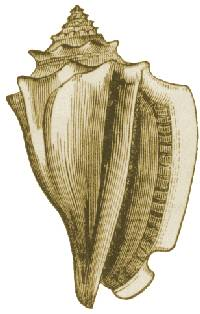 Conch drawing