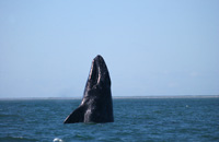 Sakhalin-gray-whale-small