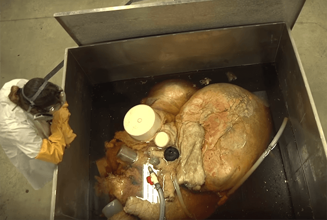 The heart of a blue whale with a person standing next to it. It appears to be roughly half the size of the person when measured across, and the person is likely five foot five to five foot seven