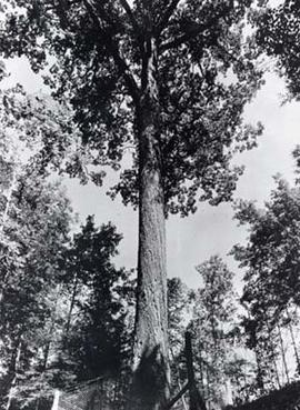 A black and white photograph of the Mingo Oak.