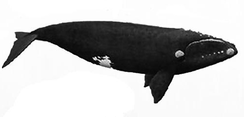 South Atlantic right whale illustration with an overall black coloration with a white patch above the eyes, callosities on the opening of the mouth, and a large body
