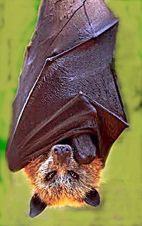 Golden crowned fruit bat