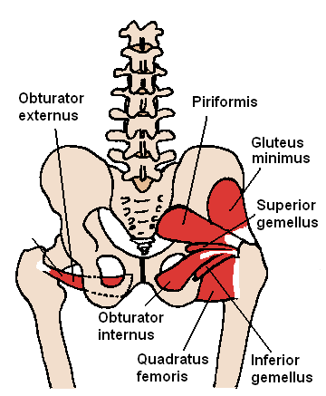Posterior Hip Muscles 1