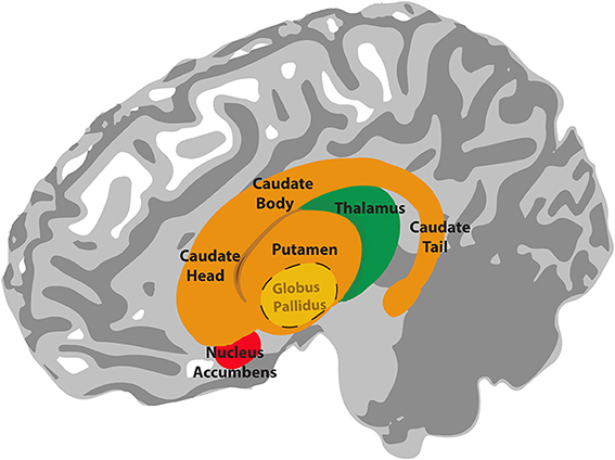 Basal ganglia Facts for Kids