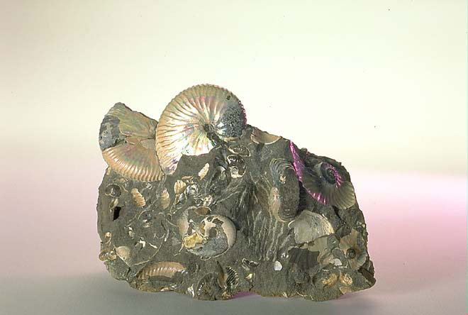 The Childrens Museum of Indianapolis - Ammonites