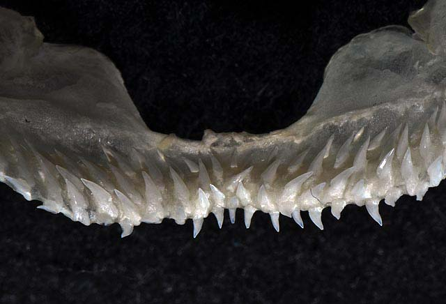 Isistius brasiliensis upper teeth