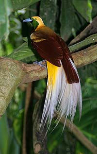 Bird-of-paradise Facts for Kids