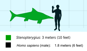Stenopterygiusscale