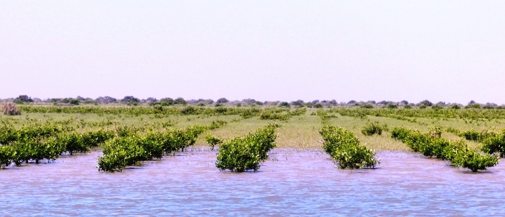 Young mangrove plantation in the Indus Delta
