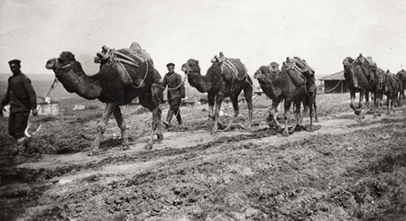 A photo of Bulgarian military transport camels in 1912