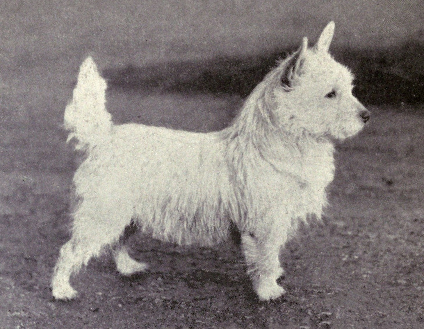 A black and white photograph of a small white terrier, looking very similar to the modern breed