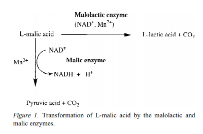 Lactic acid transformation from malic acid