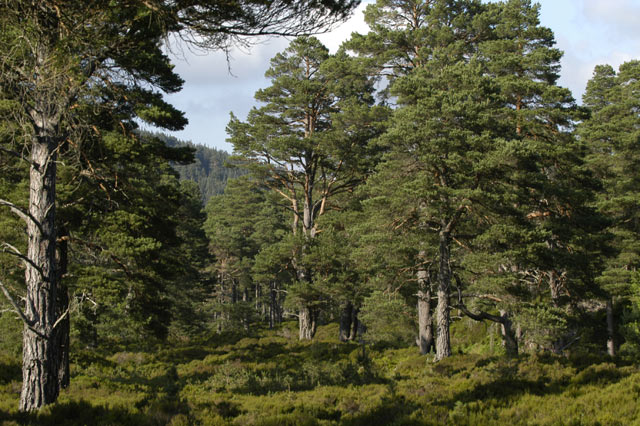 Ancient Caledonian Forest, Glen Tanar - geograph.org.uk - 6992
