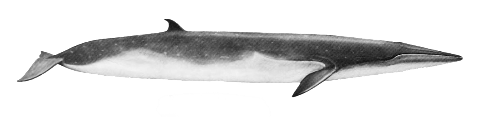 Eden's whale illustration with a light top, white bottom, a long and slender body, and a small dorsal fin near the tail