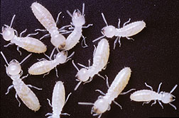 Termites marked with traceable protiens