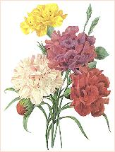 Carnations redoute