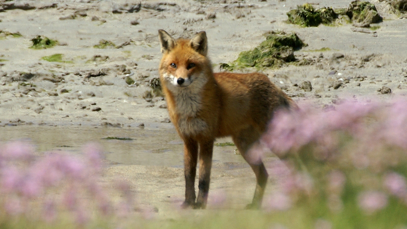 Red Fox (Vulpes vulpes) (1)