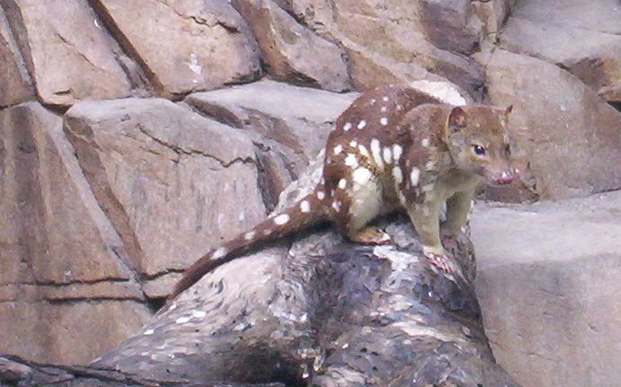Spotted-tail-Quoll Queens-Park-IpswichI
