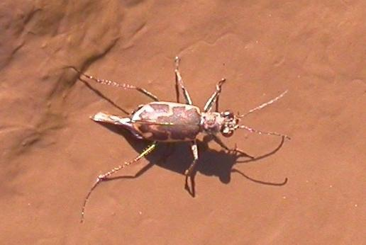 Salt Creek Tiger Beetle