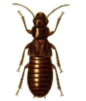 The giant northern termite is the most primitive living termite. Its body plan has been described as a cockroach's abdomen stuck to a termite's fore part. Its wings have the same form as roach wings, and like roaches, it lays its eggs in a case.