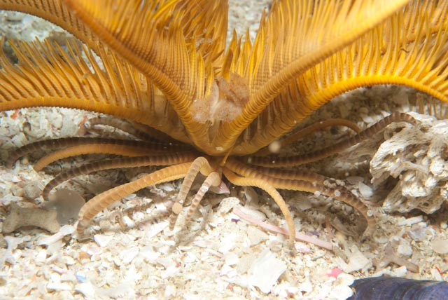 Elegant feather star9