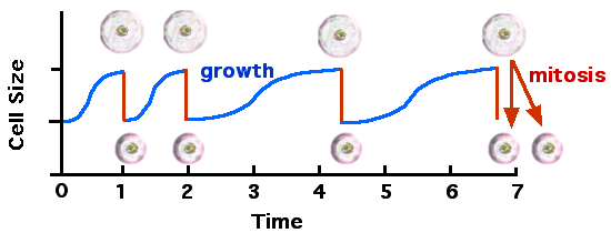 Cellcycle and growth