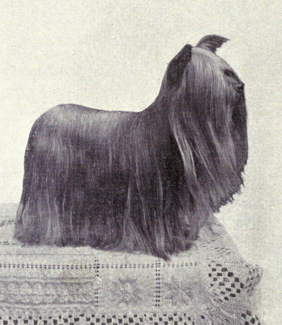 Yorkshire Terrier from 1915