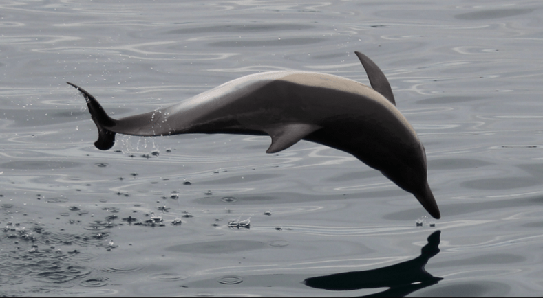 Common dolphin taken by Graham Hesketh of Dolphin Safari