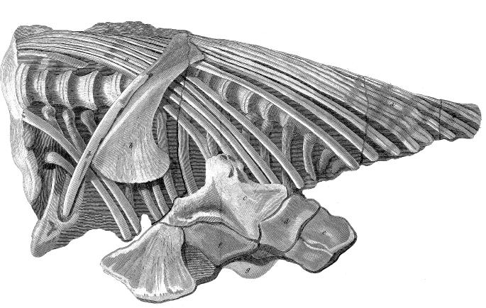 Rib, vertebrae, and pelvic bones in a stone matrix