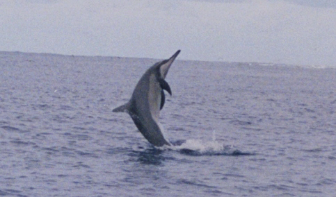 Spinner Dolphin at midway