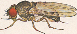 Drosophila pseudoobscura-Male