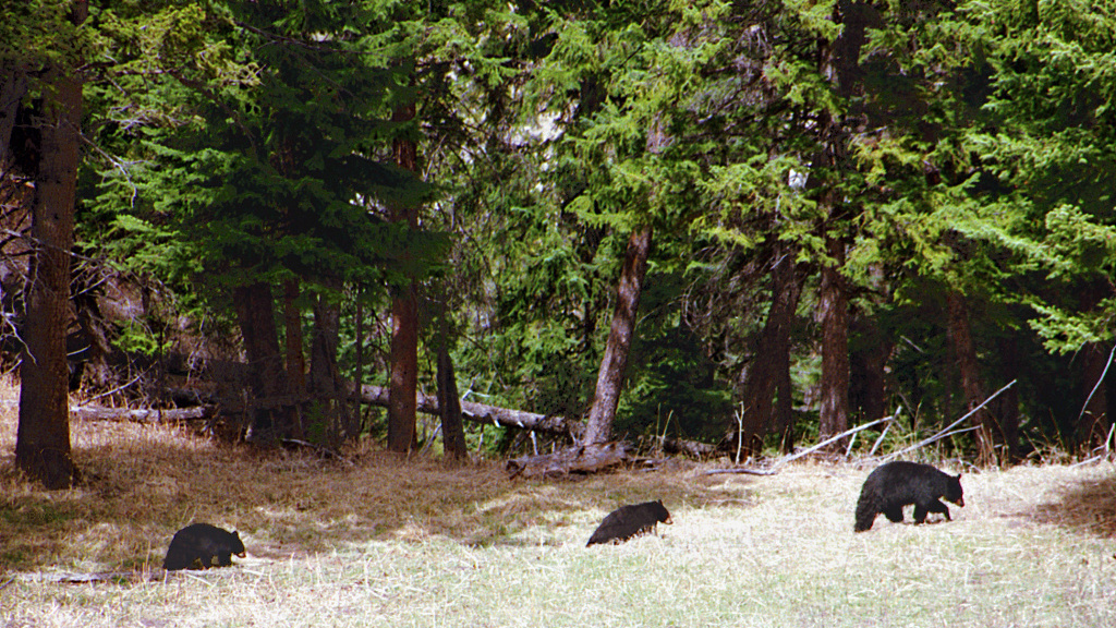 A033, Yellowstone National Park, Wyoming, USA, black bears, 2001