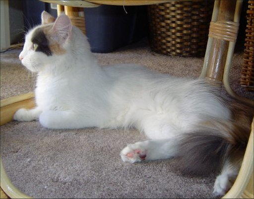 2e0c95a9ab31b3 Turkish Van Facts for Kids