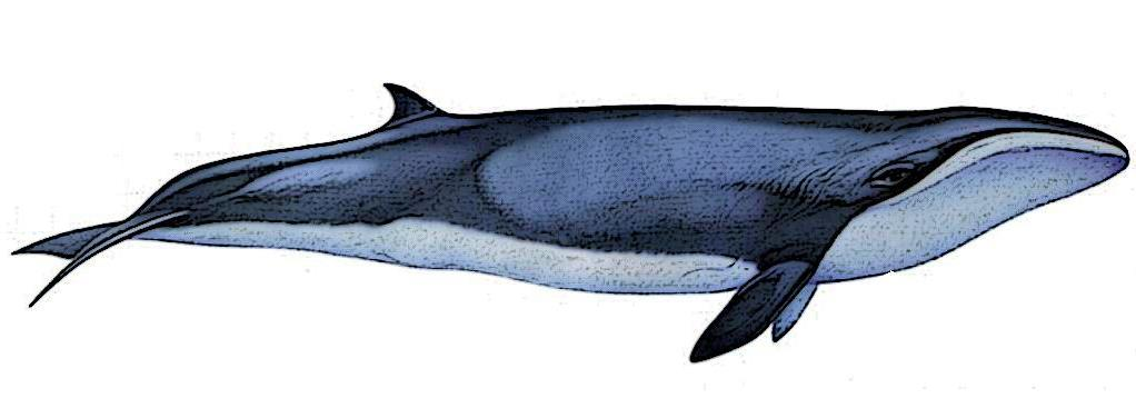 Pygmy right whale illustration with a dark gray top, a light grey underside, a light eyepatch, and a small dorsal fin near the tail