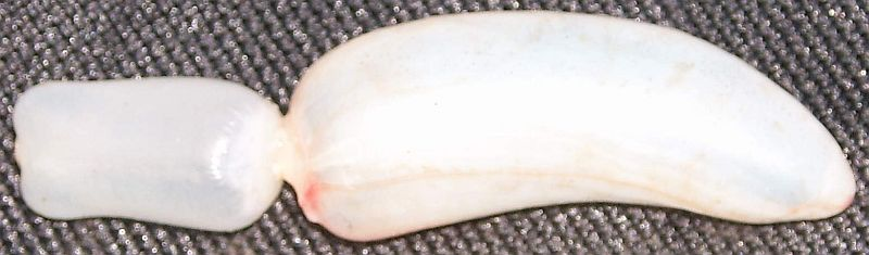 Photo of white bladder that consists of a rectangular section and a banana-shaped section connected by a much thinner element