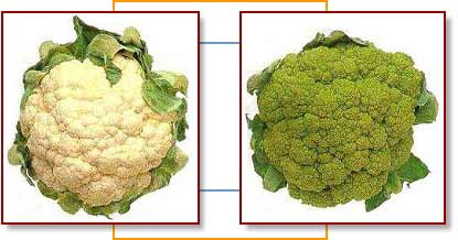 Cauliflower broccoflower
