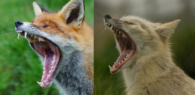 Yawning red and corsac fox