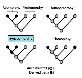 Synapomorphy