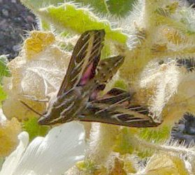 Sphinx moth on rock nettle at Mosaic Canyon