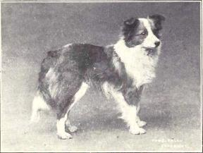 Shetland Sheepdog from 1915