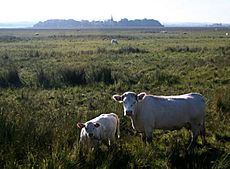 Cattle Grazing in the Lough Beg National Nature Reserve - geograph.org.uk - 505317