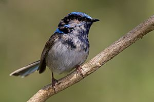 Immature male superb fairy wren moulting